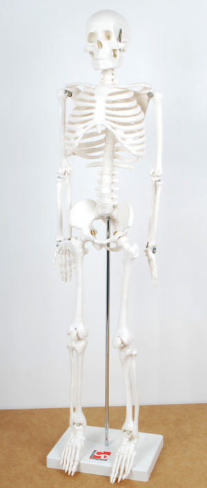 Half-Scale Skeleton-0
